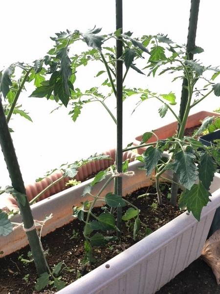 tomato13nov2016a.jpg