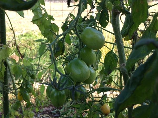 tomato13nov2016b.jpg